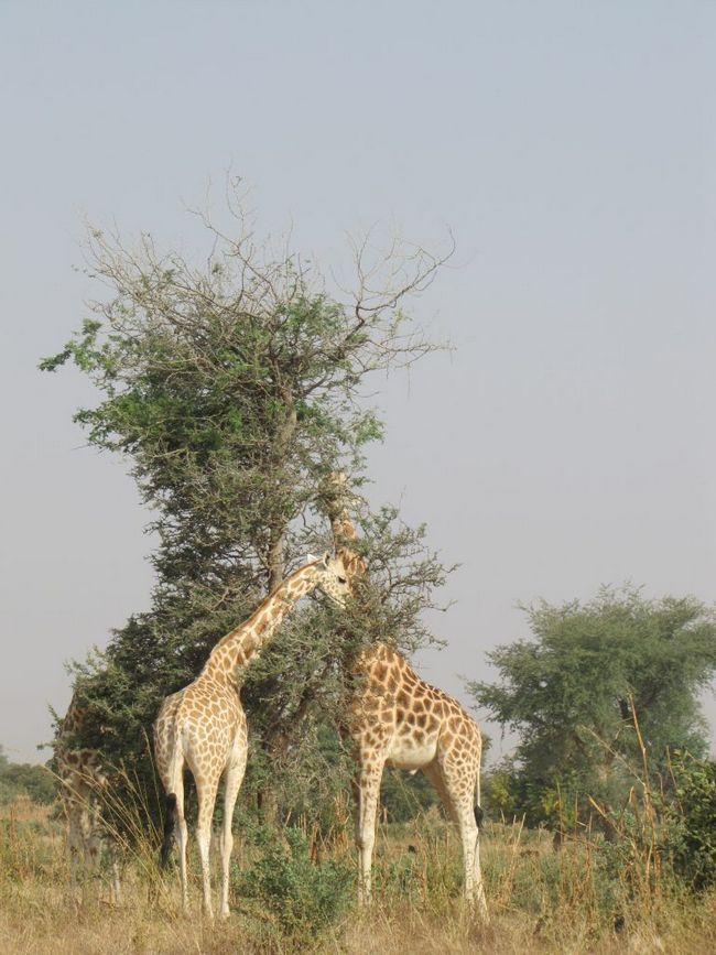 Сьогодні тварина поширене тільки в Нігері.