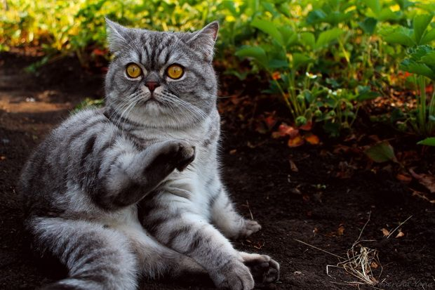 Запори у кішок і методи боротьби з ними