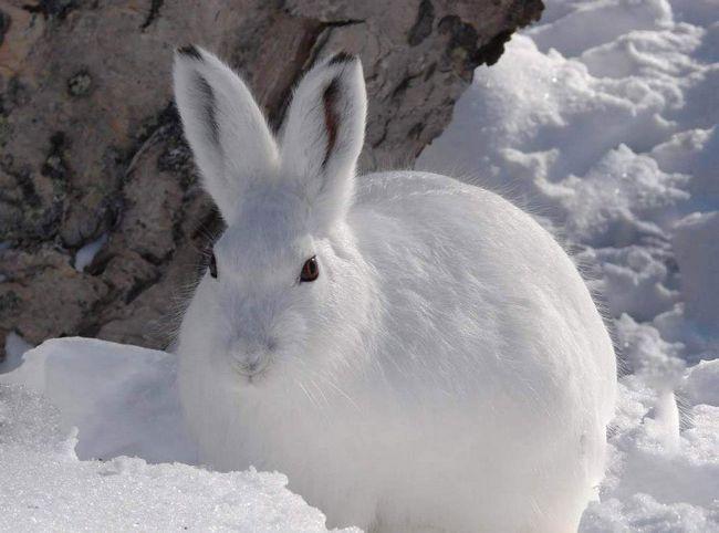 Заєць-біляк.