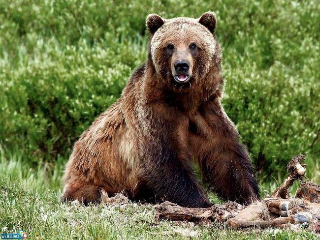 Бурий ведмідь - місцевий жителі і господар сибірської тайги.