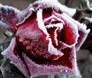 Захист троянд перед зимою