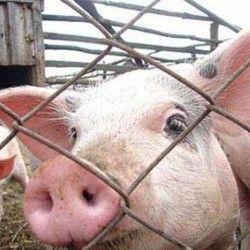 Захист свиней від грипу