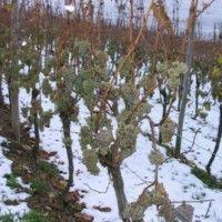 Захист винограду від морозів