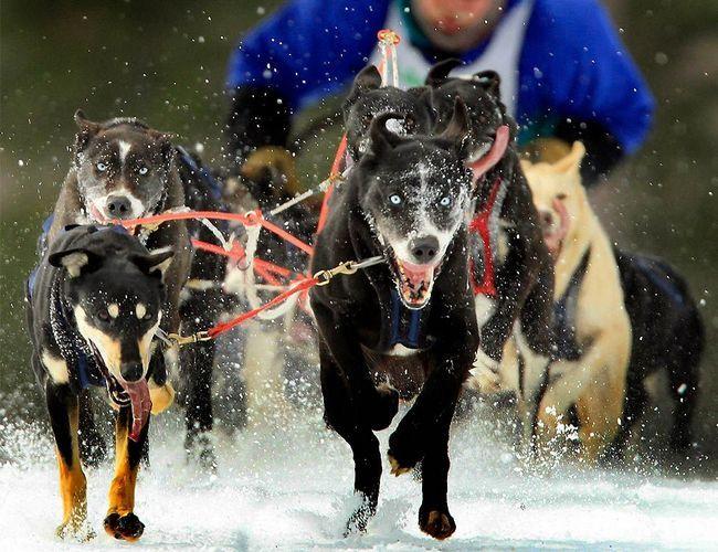 Завершення сезону гонок на собачих упряжках