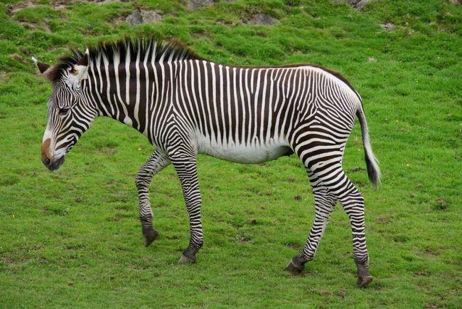 Зебра Греві (Equus grevyi).