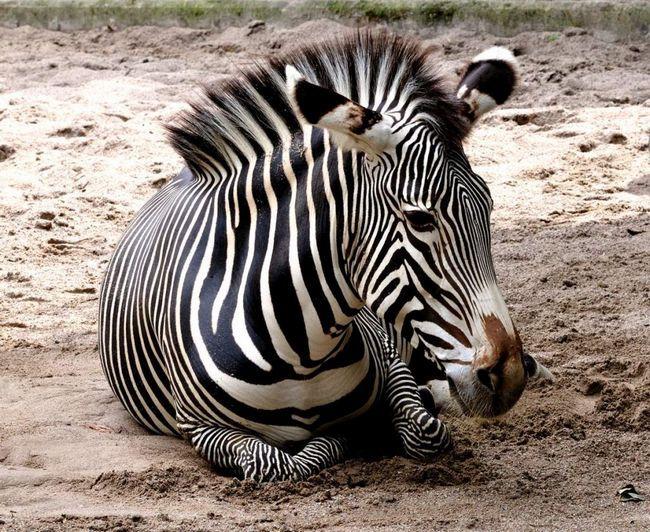 Зебра отримала свою назву на честь французького президента Жюля Греві, якому в 1880-х був подарований один екземпляр цієї тварини урядом Абіссінії.