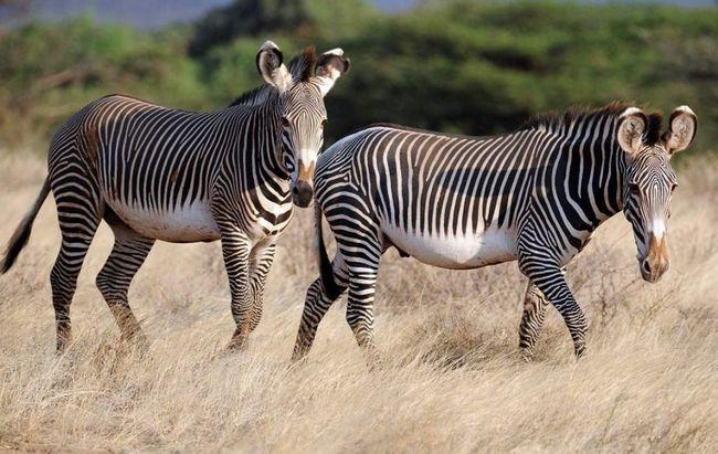 У лошат зебри Греві до хвоста доходить сама грива, але з часом скорочується.