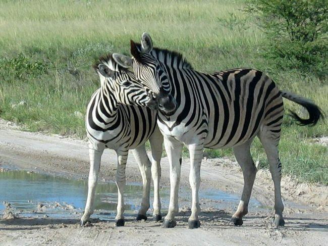 Зебра і її малюк.