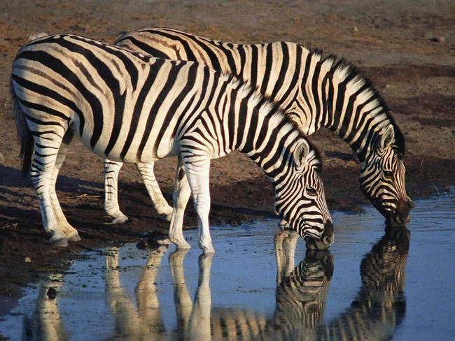 Зебри на водопої.