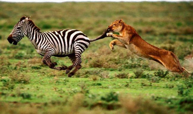 Зебра - об`єкт полювання великих хижаків.