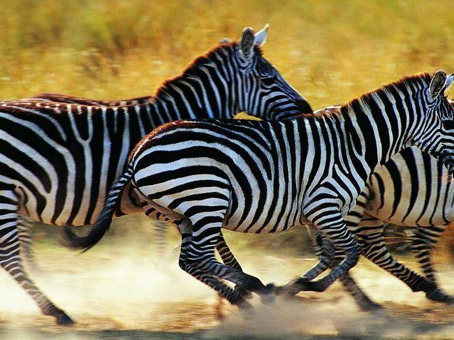 Зебри рятуються втечею.