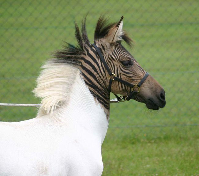 Зебра плюс кінь, що в підсумку?