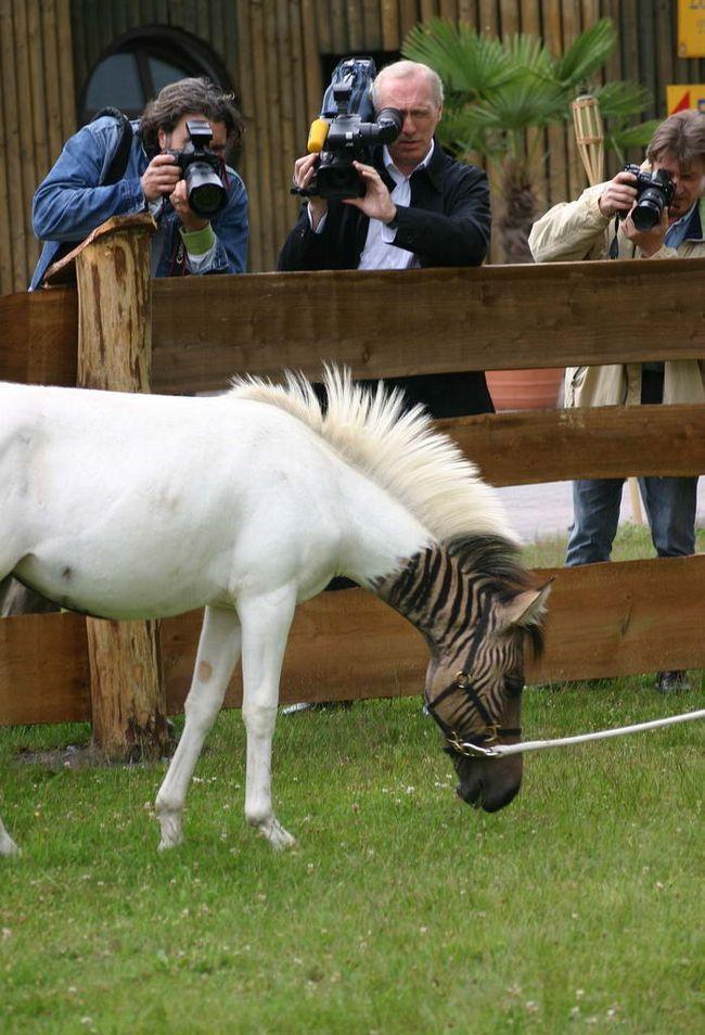 Зазвичай зеброїда смугасті суцільно. Проте, у випадку з Еклізі риси зебри обмежуються тільки головою, частиною спини і боків.