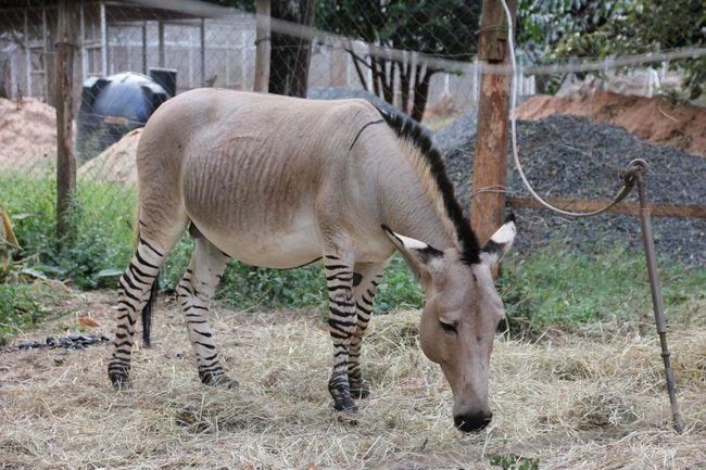 Зеброїди - продукт схрещування різних видів тварин з роду коней.