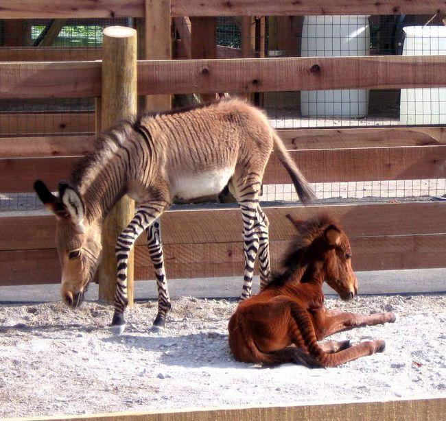 Гібрид зебри і коня.
