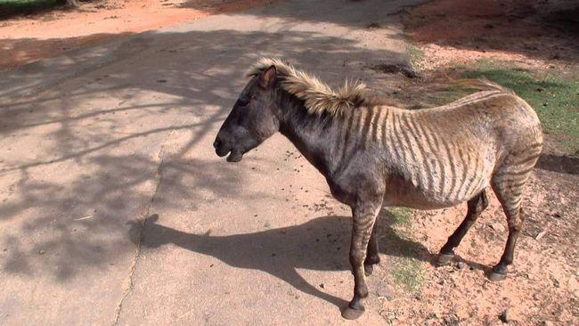 Зеброїди виводяться з метою поліпшення тих чи інших якостей різних тварин для застосування їх в підсобному господарстві.