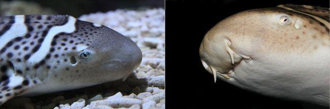 Зебровая акула, або акула-зебра (лат. Stegostoma fasciatum)