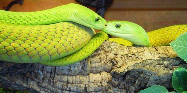 Змія миттєво реагує на сторонні руху, тому нерідко нападає на людей.