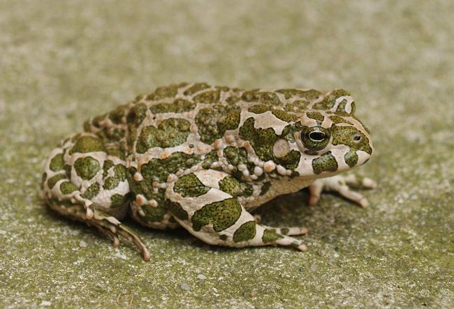 Зелена жаба (Pseudepidalea viridis).