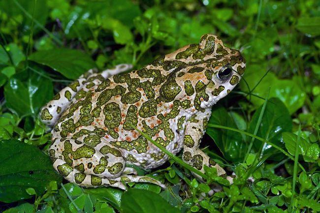 Ці жаби відчувають себе комфортно в абсолютно різних умовах.