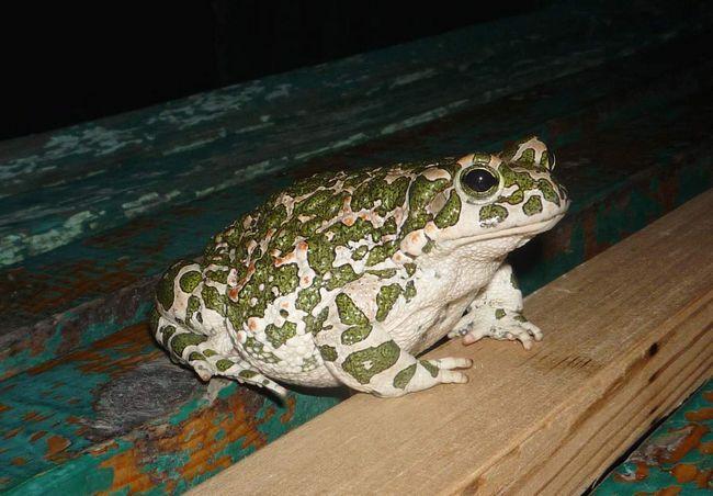 Водойми зеленим жабам необхідні тільки в період розмноження.