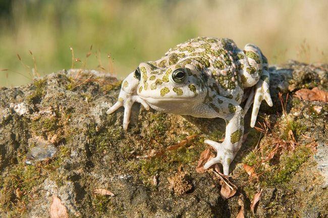 Найчастіше яйця зелених жаб зібрані в довгі шнури.