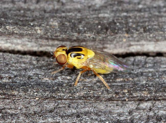 Хлібна зеленоглазка (Chlorops pumilionis).