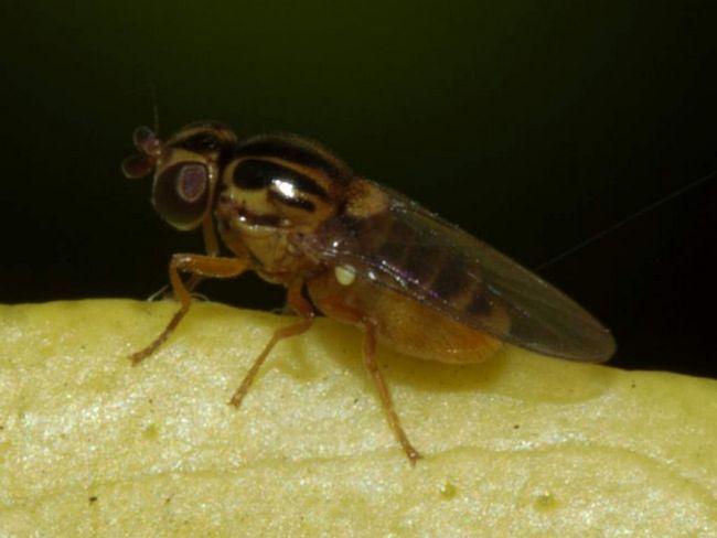Зеленоглазк ушкоджують пшеничні колоски, рослина стає більш сприйнятливим до хвороб і гине.
