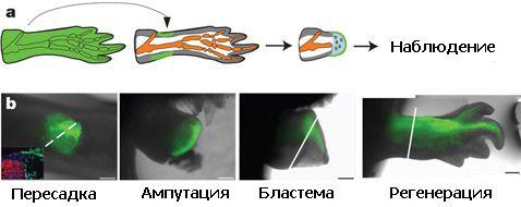 Загальна схема експериментів: трансгенну тварина синтезує флуоресцентний білок у всіх своїх тканинах. Цікавий вчених конкретний тип клітин від цього примірника пересаджують звичайному тварині, у якого потім відрізають кінцівку. Після проходження стадії бластеми кінцівку відрощувати заново, а флуоресціюючі маркери дозволяють точно встановити - в який тип клітин перетворилися пересаджені
