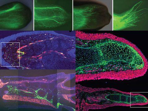 Вгорі: поширення шванновских клітин на 3-й, 7-й, 18-й і 25-й день після ампутації. Внизу: різні маркери і методи візуалізації дозволили вченим чітко відокремити одні типи клітин від інших (фото Martin Kragl et.al.).