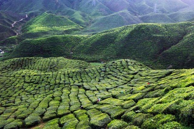Зелений чай у великих кількостях замість користі починає приносити шкоду
