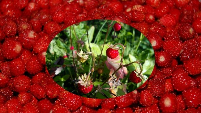 суниця садова