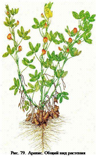 Земляний горіх (арахіс)