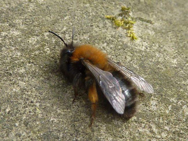 земляна бджола