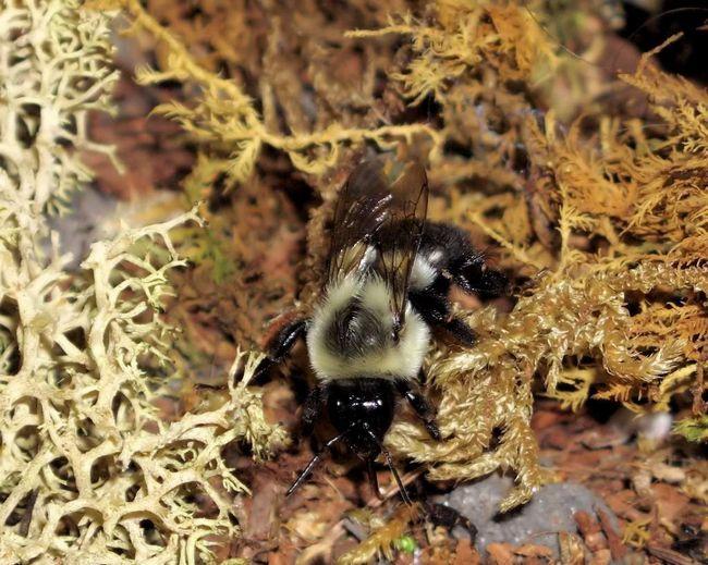 Земляна бджілка, схоже, заплуталася в траві.