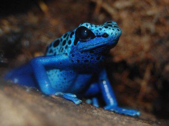 деревна жаба фото