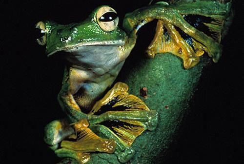 літаюча жаба фото