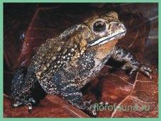 Жабачернорубцовая / bufo melanostictus