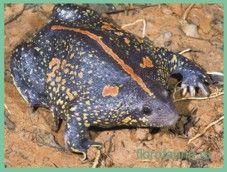 Жабаносатая / rhinophrynus dorsalis