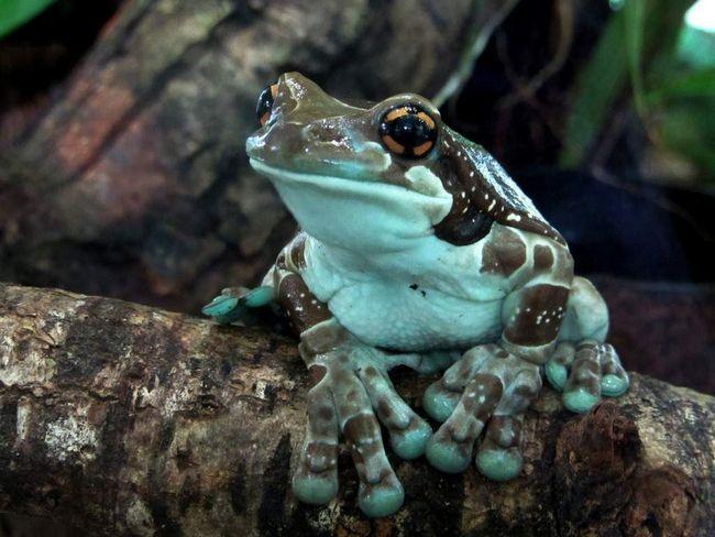 Для початківців террариумистов підійдуть австралійські, кубинські, краснопятністие і жабовидних квакші.