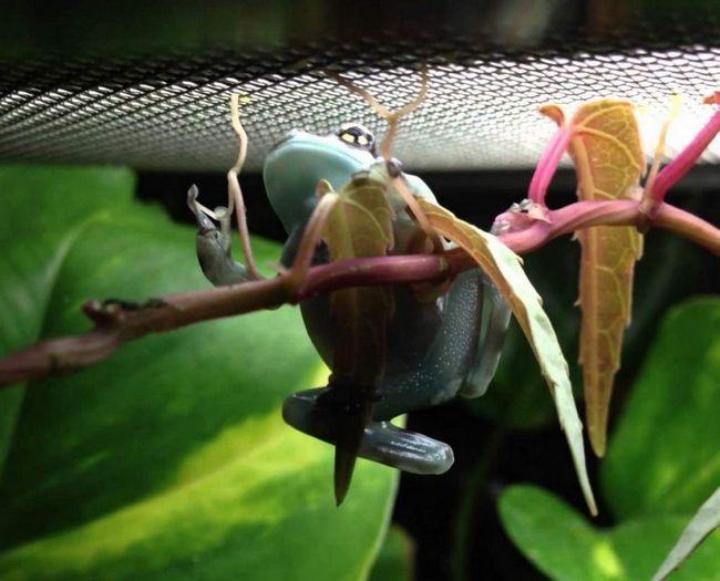 Любить рівнинні тропічні ліси. Веде деревний спосіб життя.