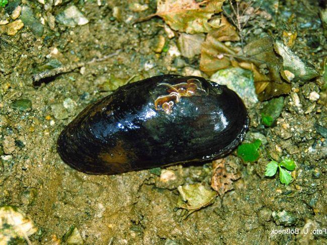 Жемчужница (Margaritifera margaritifera).