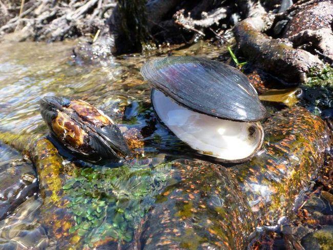 Живуть жемчужніци в невеликих річках.