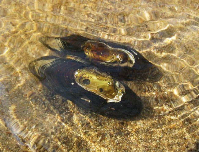 Жемчужниц добувають заради річкових перлів.