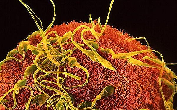 Жіночий гормон `` підганяє `` сперматозоїди при заплідненні