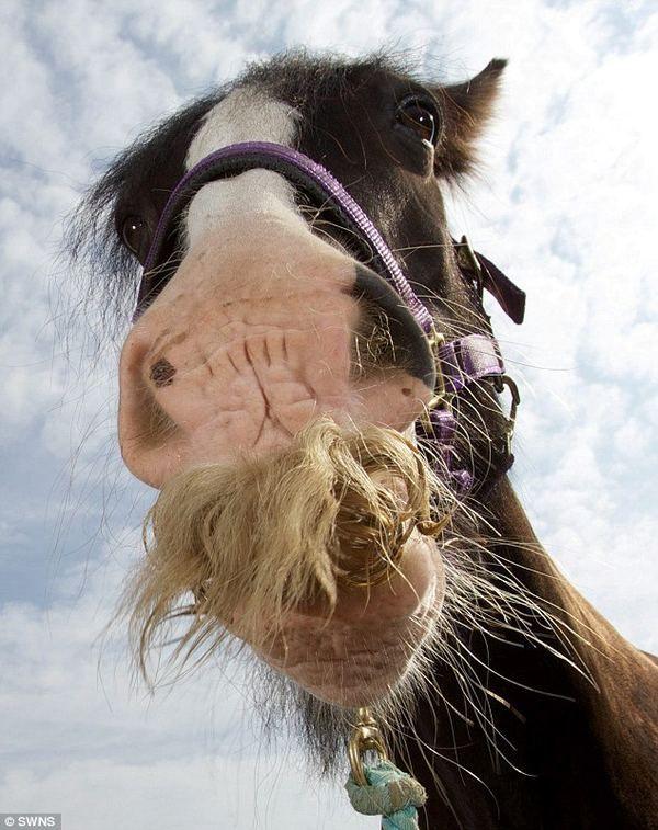Жеребець алфі - самий вусатий кінь великобритании