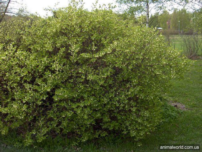 Жимолость їстівна (Lonicera caerulea)