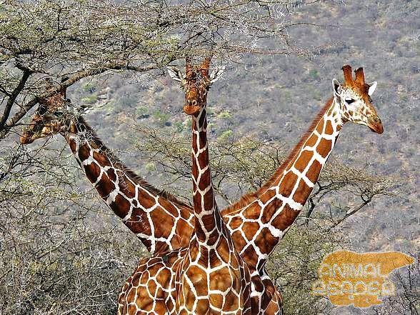 Жирафи в природному середовищі існування