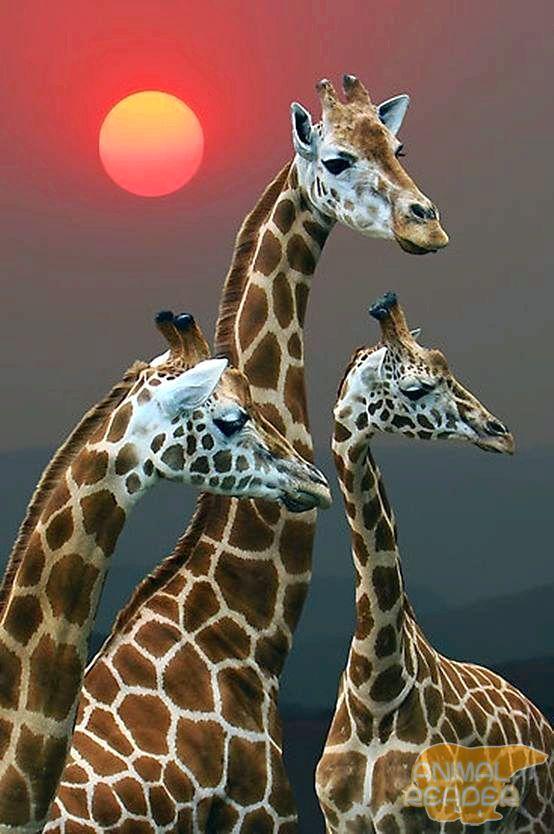 стадо жирафів