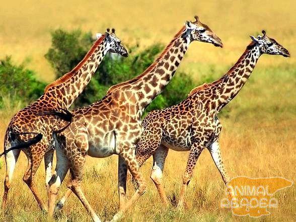 Жирафи в савані
